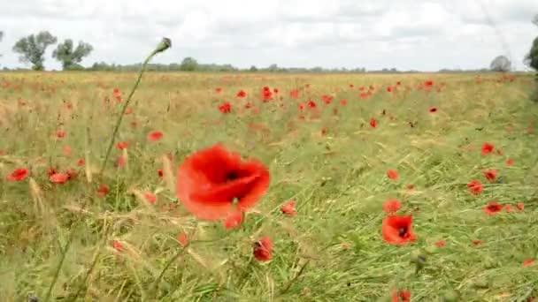 Maková pole v létě žita. Havelland (Německo).