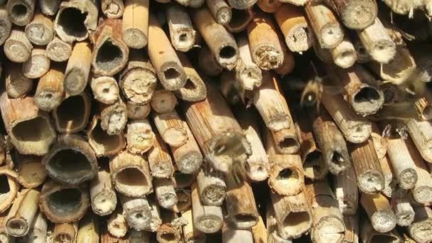 A férfi Osmia bicornis vadon élő méhek repkednek rovar szálloda