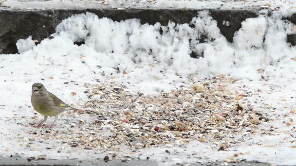 Európai zöld finch (Carduelis chloris a) magokat a hó
