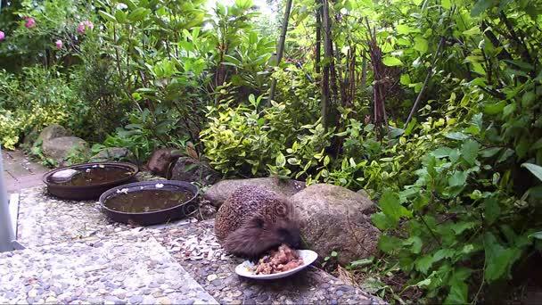 Hedgehog looking for cat food in a garden