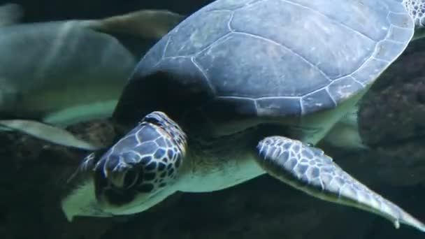 Loggerhead sea turtle (Caretta caretta) swimming in the Mediterranean sea