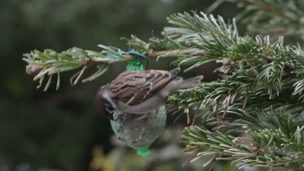 Male House Sparrow searching seeds on bird fat ball
