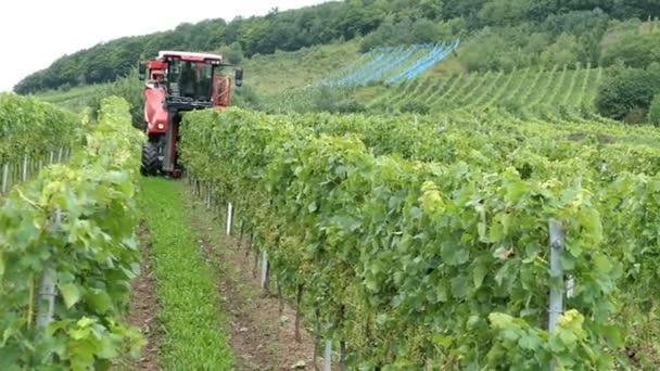 vinobraní na vinici u řeky Mosely v Německu. Mechanické, sklizeň s Samojízdný Sklízeč hroznů