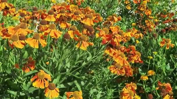 záhonu oranžová žlutá sneezeweed (Helenium), trvalky