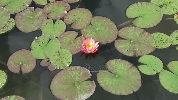 pink Water lily in a pond. summer.