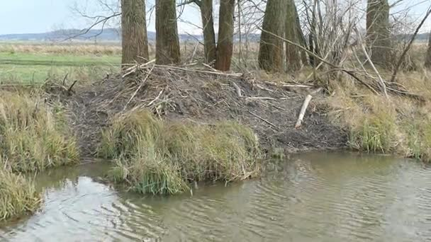 beaver lodge at water on a water channel in Havelland (Brandenburg, Germany)