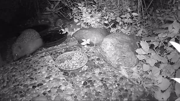 Európai sün (Erinaceus europaeus) macska étel ivás, a kert éjszakai etetés.