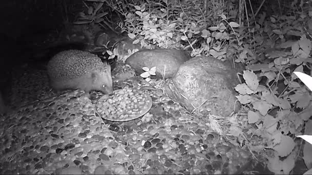 European hedgehog (Erinaceus europaeus) feeding on cat food bowl in garden during night time.