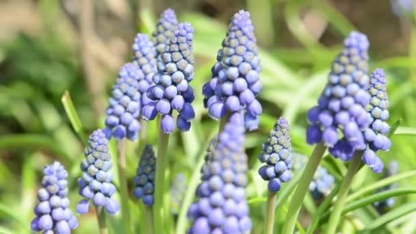 blue grape hyacinth flower blossom on springtime