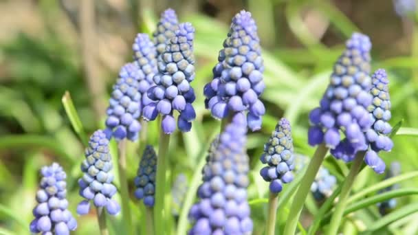 blue grape hyacinth flower blossom on springtime