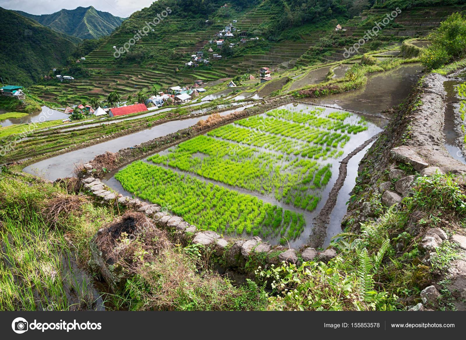 Campo De La Terraza Para Coultivation De Arroz Foto De