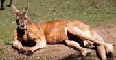 Fotografie close up view of kangaroo in national park in australia