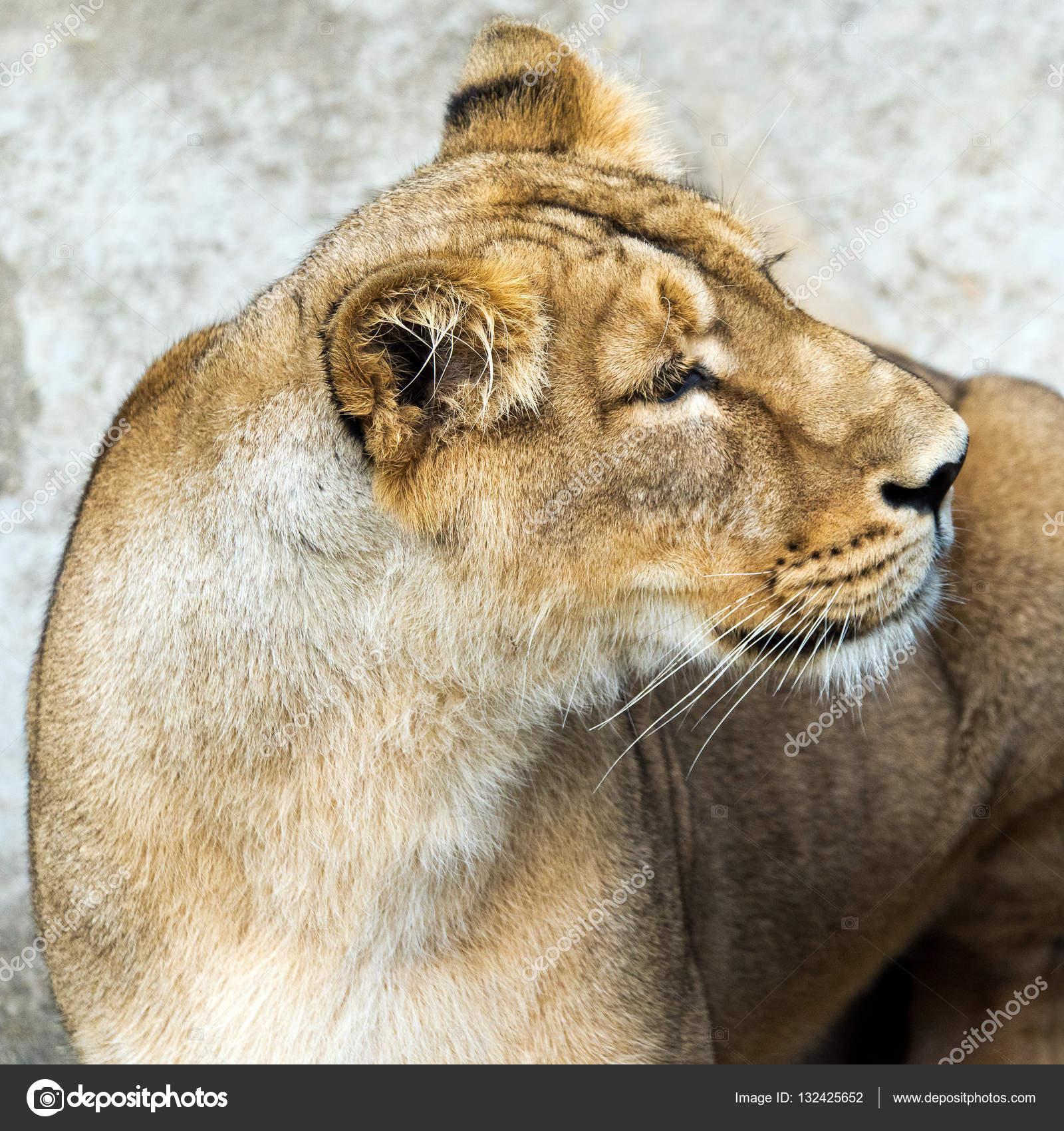 Lioness (female lion) — Stock Photo © Nazzu #132425652
