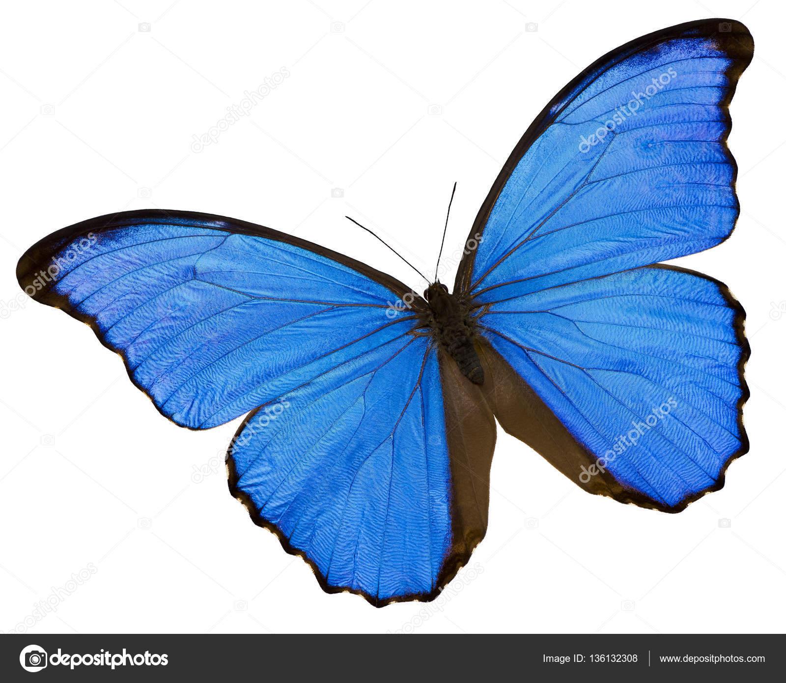 Farfalla Blu Su Sfondo Bianco Foto Stock Nazzu 136132308