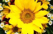 kytice slunečnic a sedmikrásky