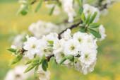 Bílé květy švestkového stromu na pozadí kvetoucí zahrady, selektivní zaměření