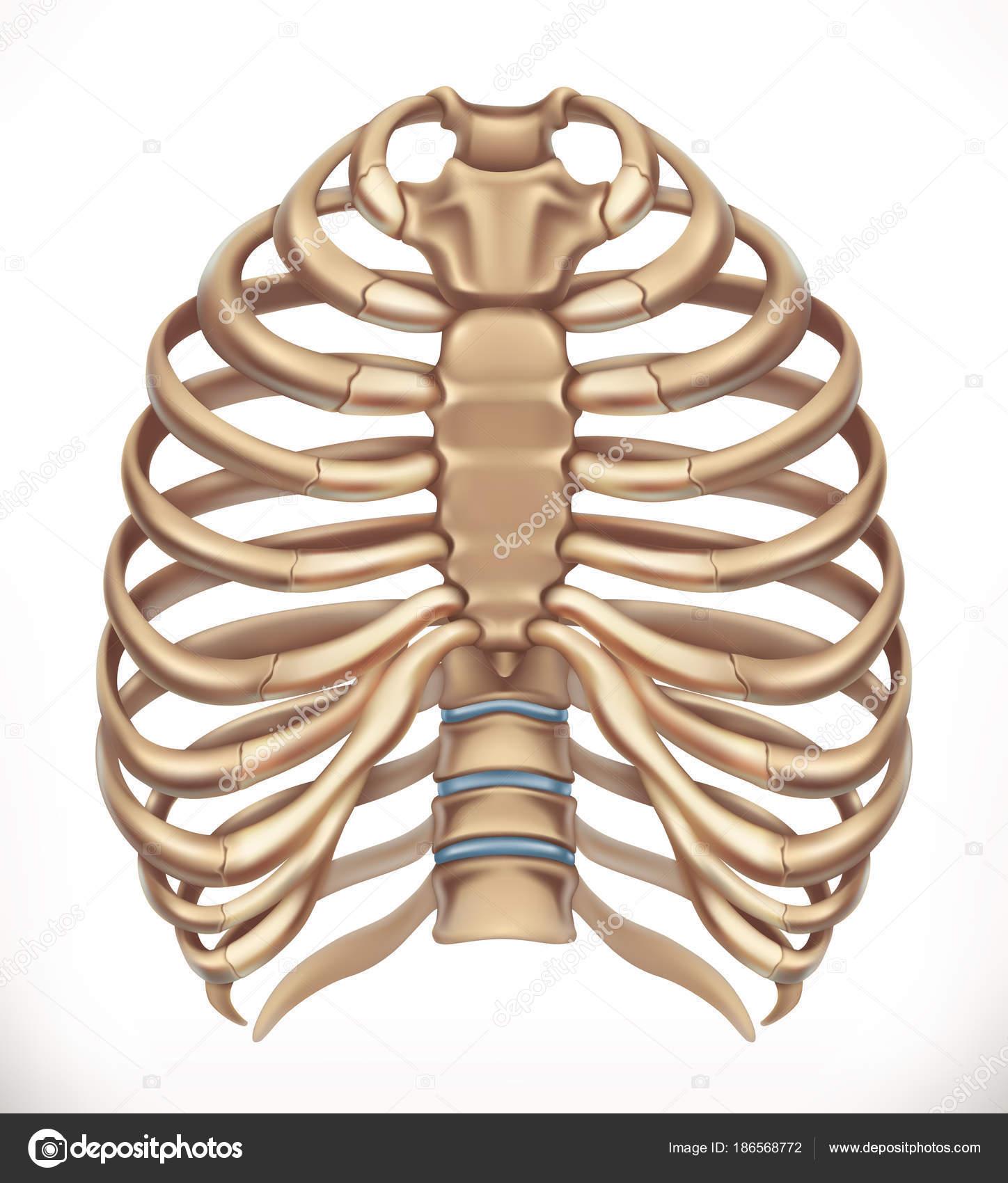 Jaula de la costilla. Esqueleto humano, medicina. 3D icono vector ...
