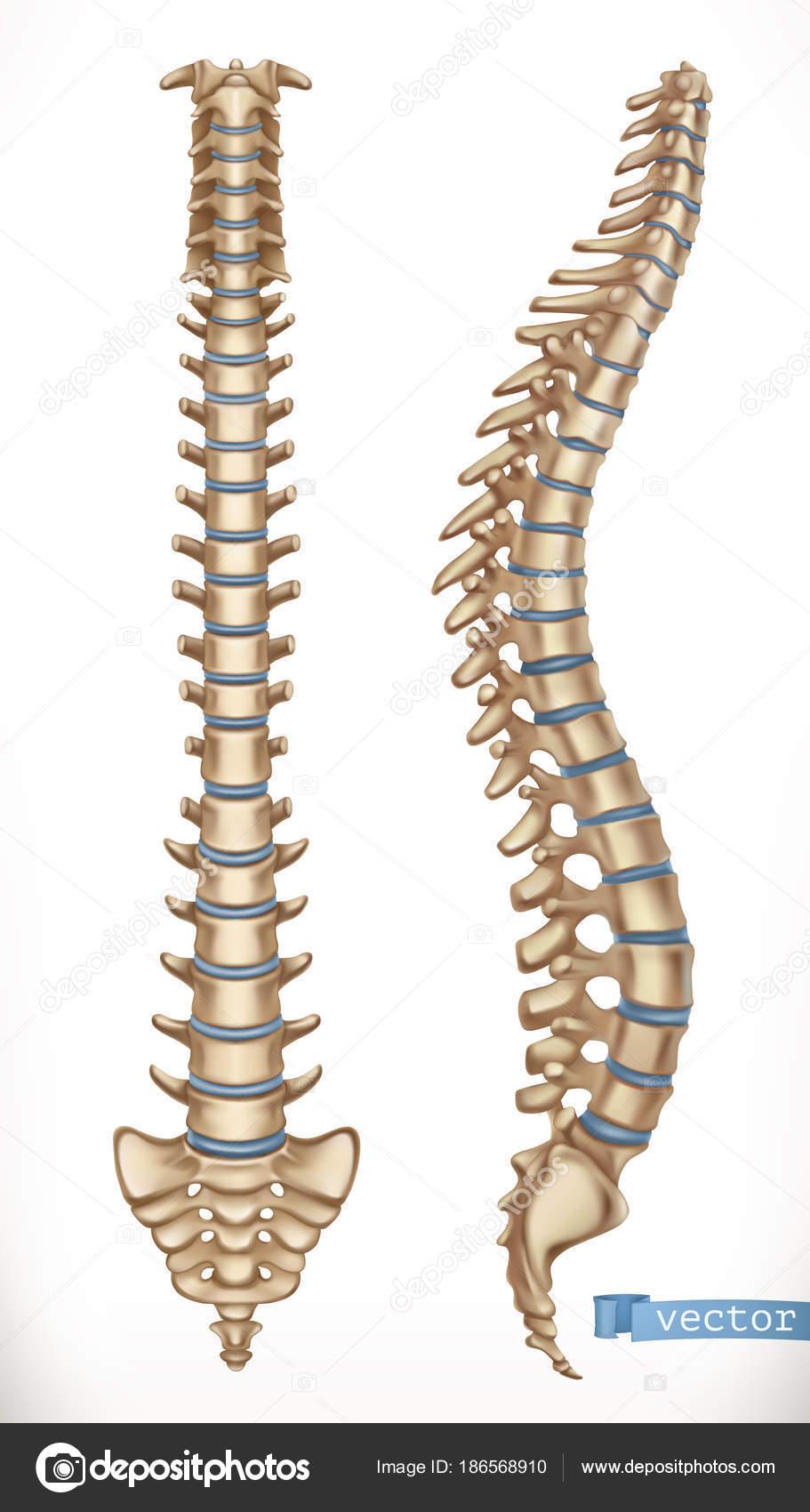 Struktur der Wirbelsäule. Vorder- und Seitenansicht anzeigen ...