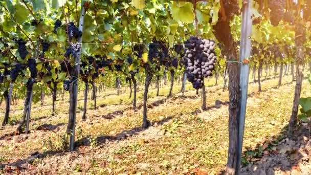 Autumn vineyards and organic grape on vine branches