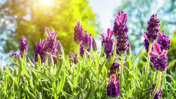 Kvetoucí levandule na slunečný letní den
