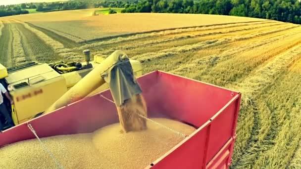 Kombajn, načítání pšeničného zrna do přívěsu traktoru