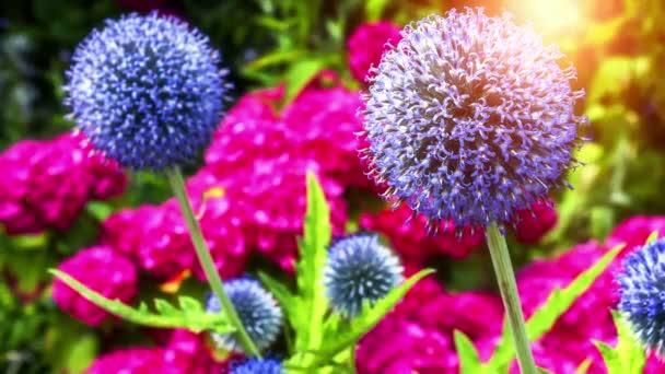 Globe thistle květiny a růžové hortensia