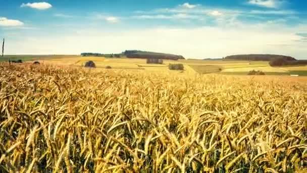Walking in wheat field on summer day