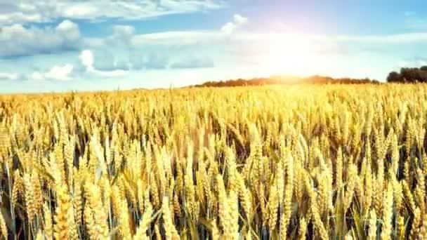 Panorámás kilátás nyílik mezőgazdasági Búzamező