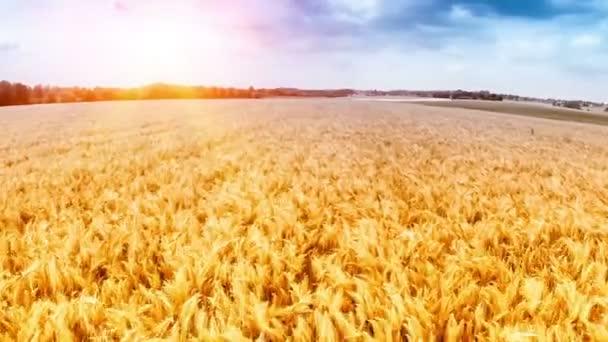 Flying over golden wheat field