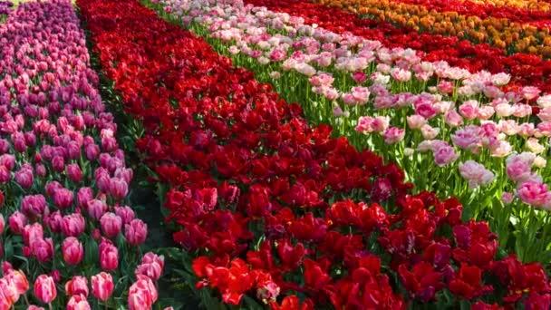 Krásný panoramatický krajinu s vícebarevné tulipány