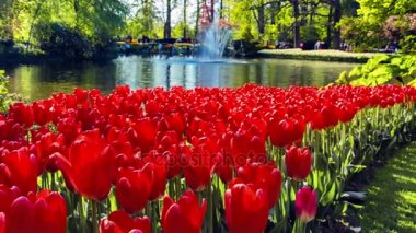 beautiful red tulips in spring park.