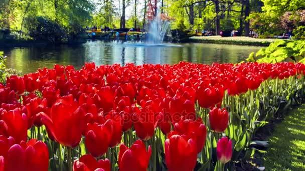 krásné červené tulipány na jaře parku