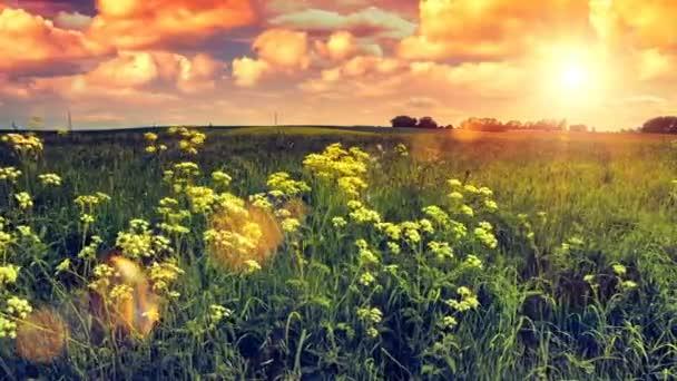 divoké květy pole při západu slunce