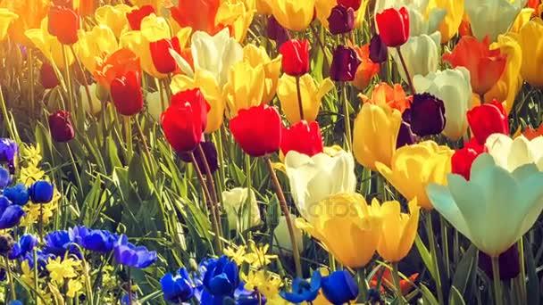 Vícebarevné tulipány a sasanky pole
