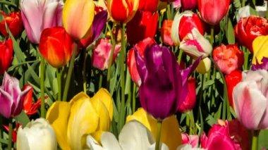 vícebarevné tulipány pole