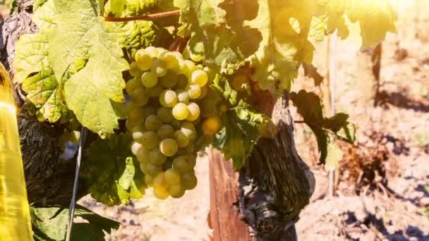 szőlő- és üveg fehér bor
