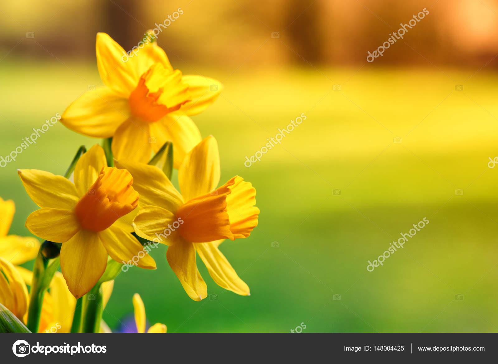 Flores De Primavera Narcisos Amarillos Fotos De Stock - Narcisos-amarillos