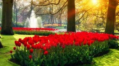 krásné červené tulipány