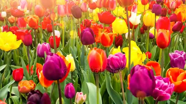 Multicolor tulips field.