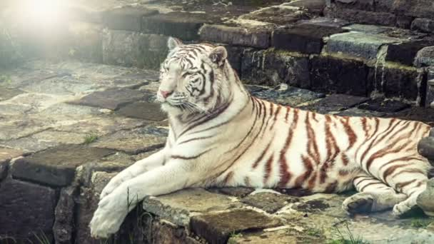 White Bengal tiger lying