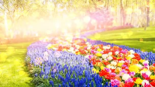 vícebarevné tulipány a hyacinty modrá