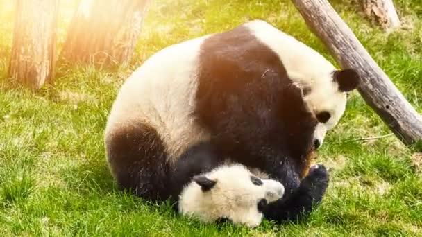 Panda bears playing