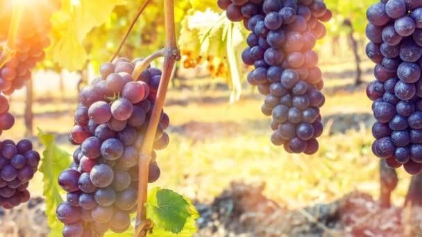 ripe red grapes at vineyard