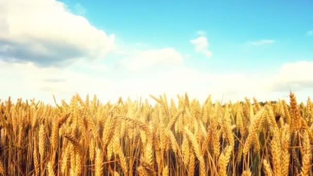 wheat field under cloudy sky