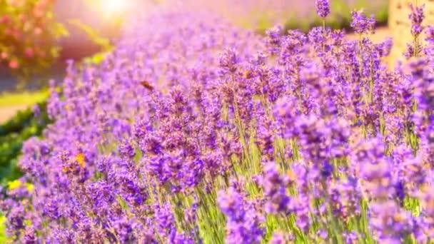 levandulové květy s motýly
