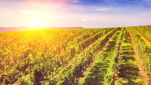 Řádky vinic oblasti