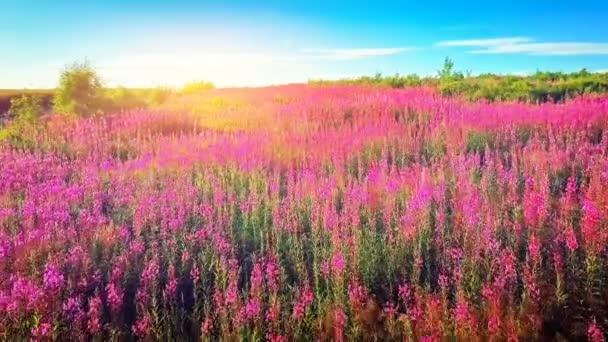 beautiful field with blooming purple flowers