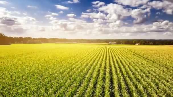 rostliny zelené obilí