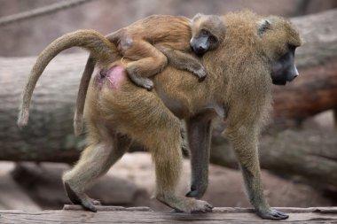 Guinea baboons (Papio papio).
