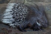 Fotografia Indian crested porcupine (Hystrix indica)